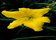 Hemerocallis 'D. Moon'