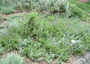 Salvia sonomensis 'Dara's Choice'