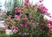 Crape Myrtle, Assorted Varieties